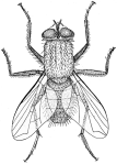 Musca_illustration