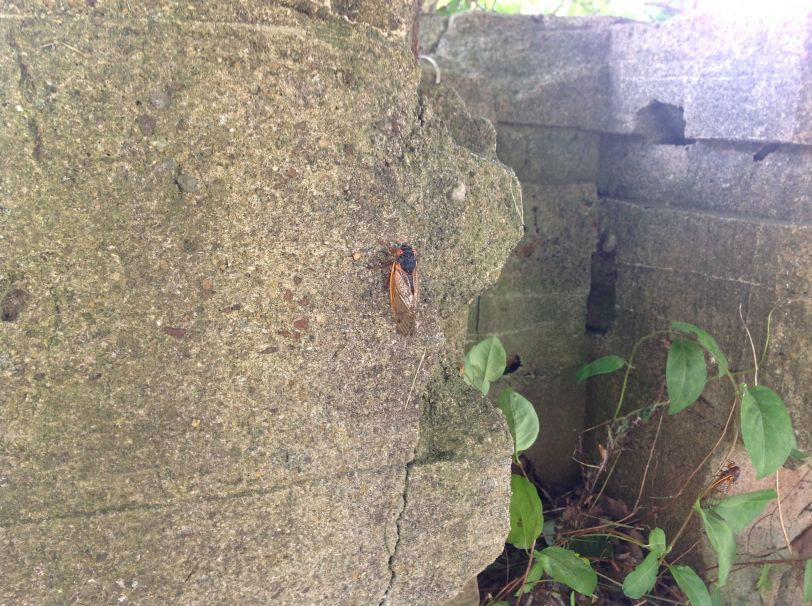 single cicada on wall