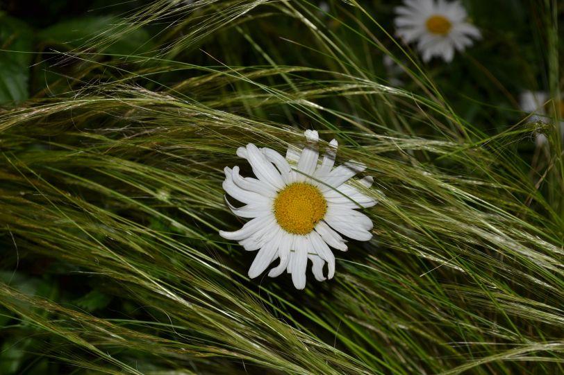 night daisy
